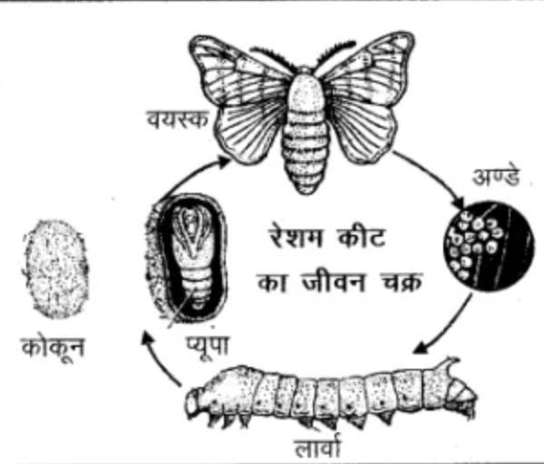रेशम कीट का जीवन चक्र