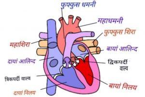 मनुष्य का हृदय