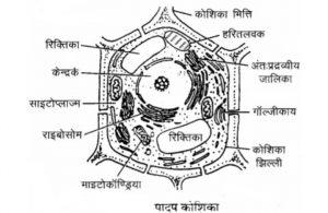 पादप कोशिका