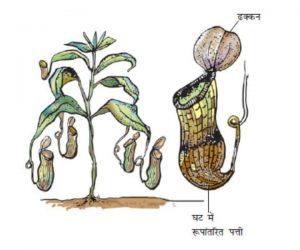 Kit bhachi