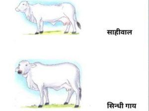 Shawal Cow